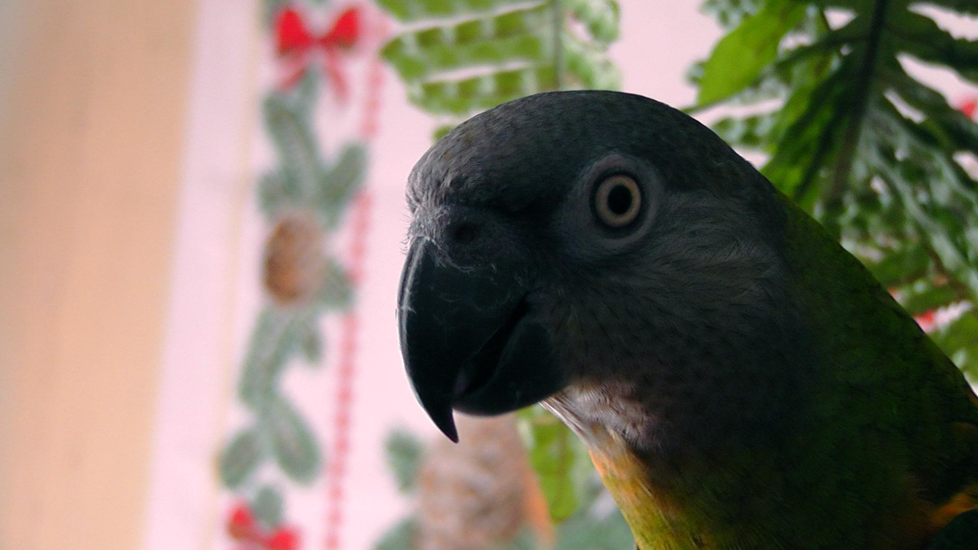 Lepi (Senegalec)