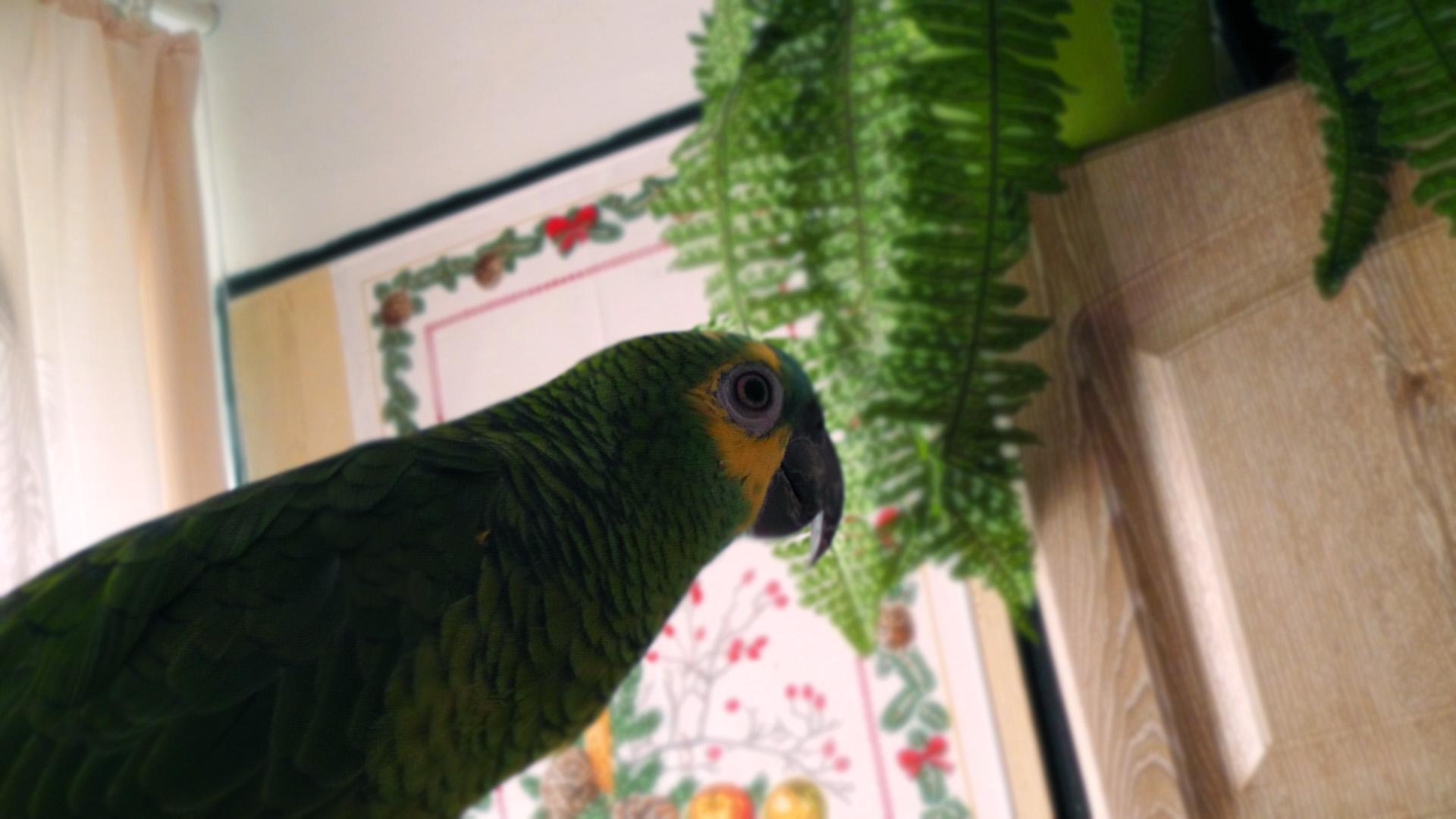 Áďa (Amazoňan modročelý)